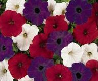 Red White and Blue Petunia Wave